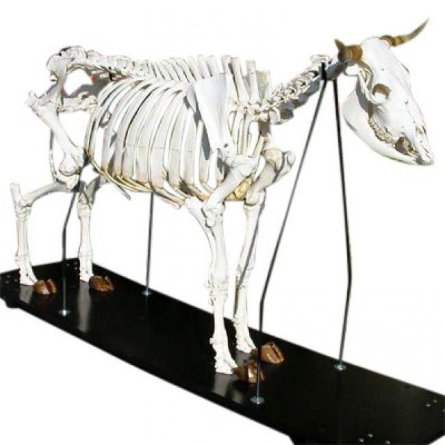 Esqueleto de Vaca