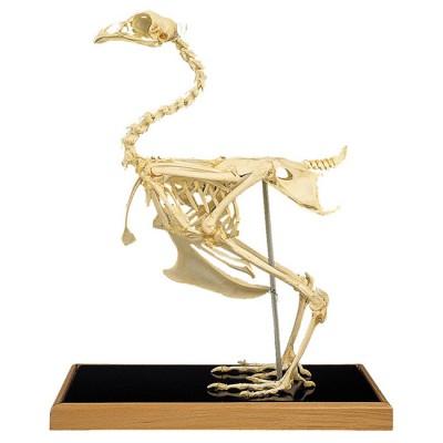 Esqueleto de Galinha