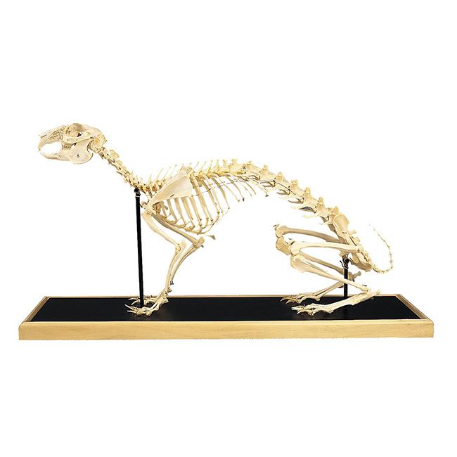 Esqueleto de Coelho