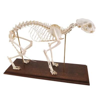 Esqueleto de Gato