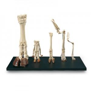Formações típicas de patas de mamíferos